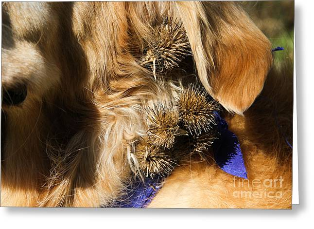 Animal Dispersal Greeting Cards - Burs In Dogs Fur Greeting Card by Photo Researchers