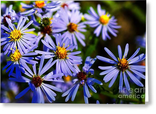 Aster Greeting Cards - Bushy Aster  Greeting Card by Thomas R Fletcher