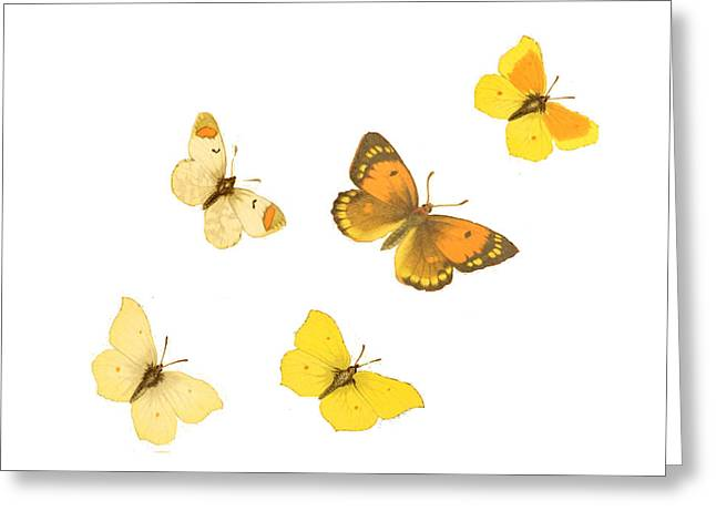 Lepidopterist Greeting Cards - Butterflies Greeting Card by Philip Ralley