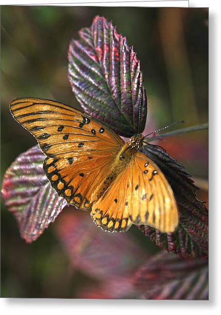 Black Berries Greeting Cards - Butterfly On Briar Greeting Card by Darrell Storts