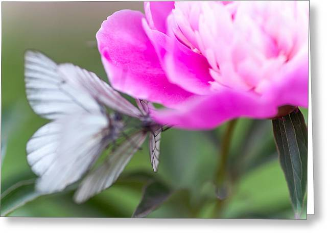Dancing Petals Greeting Cards - Butterfly Love Dance on Peony Greeting Card by Jenny Rainbow