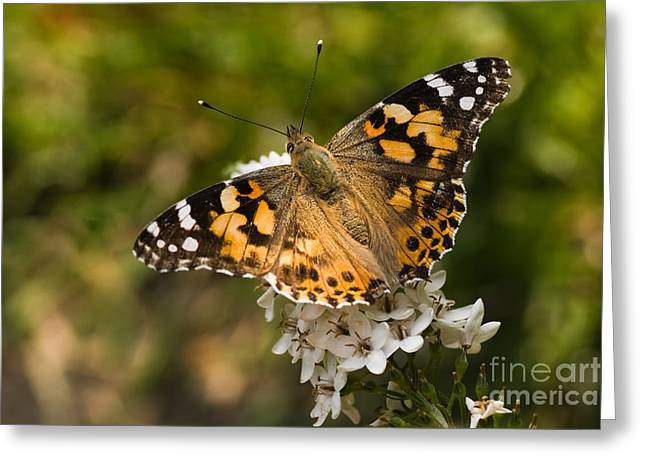Gooseneck Loosestrife Greeting Cards - Butterfly painted lady on gooseneck loosestrife Greeting Card by Colette Planken-Kooij