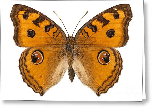 Nymphalidae Greeting Cards - Butterfly species Junonia Almana  Greeting Card by Pablo Romero