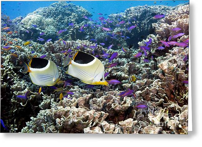 Reef Fish Greeting Cards - Butterflyfish And Purple Anthias Fish Greeting Card by Georgette Douwma