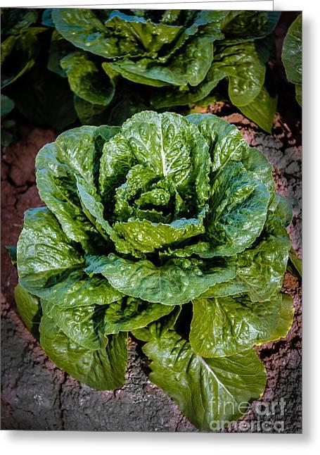 Butterhead Lettuce Greeting Card by Robert Bales