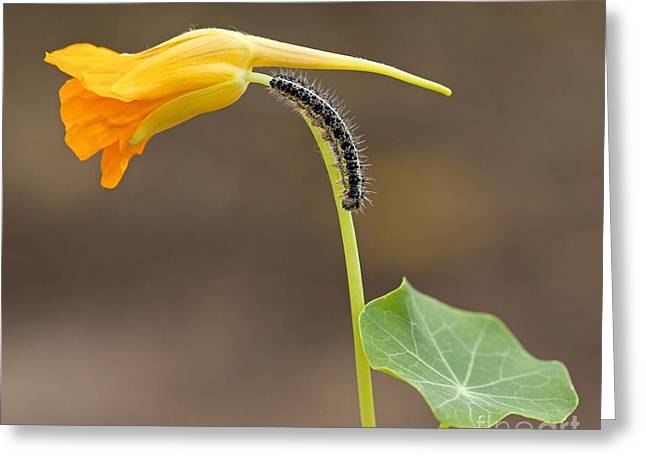 Lifecycle Greeting Cards - Cabbage White Pieris brassicae Caterpillar  Greeting Card by Alon Meir