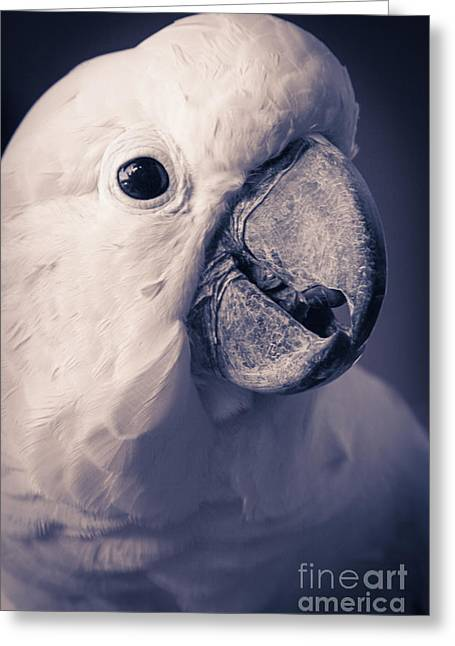 Sharon Greeting Cards - Cacatua Moluccensis - Moluccan Cockatoo Greeting Card by Sharon Mau