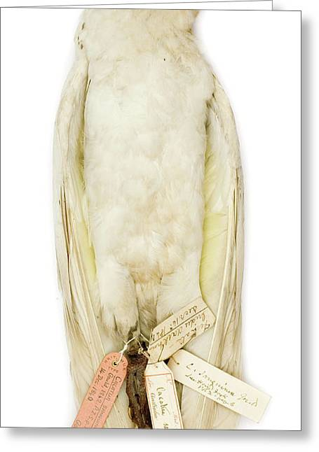 Cacatua Sanguinea Greeting Card by Natural History Museum, London