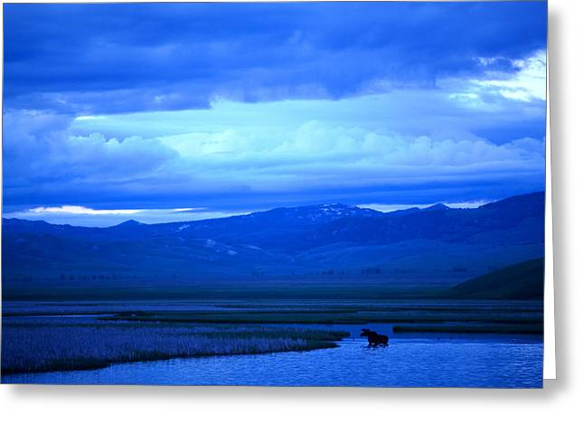 Gloaming Greeting Cards - Cache Creek Moose Greeting Card by Steve Pearce
