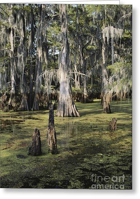Bald Cypress Greeting Cards - Caddo Lake, Texas Greeting Card by Gregory G. Dimijian, M.D.