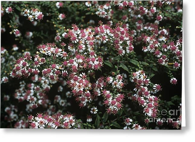 Asters Greeting Cards - Calico Aster Aster Horizontalis Greeting Card by Adrian Thomas