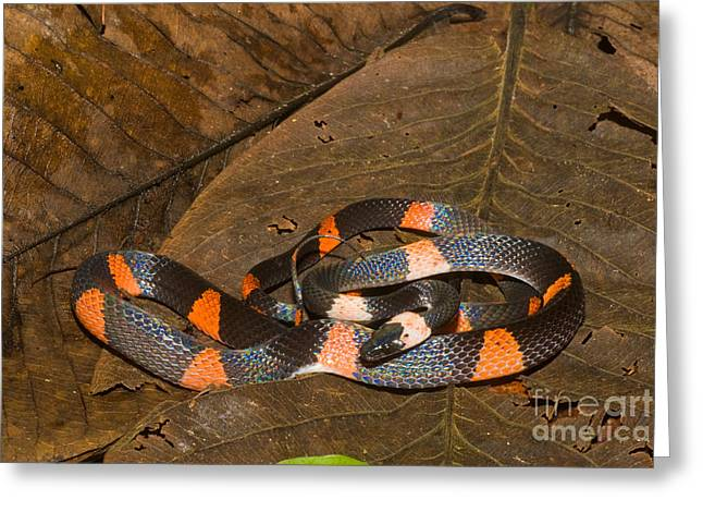 Calico Snake Greeting Card by William H. Mullins