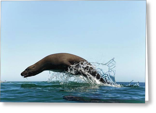 California Sea Lion Greeting Card by Christopher Swann
