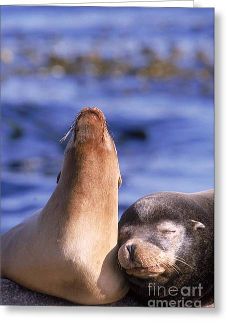 California Sea Lions Greeting Cards - California Sea Lions Greeting Card by Mark Newman