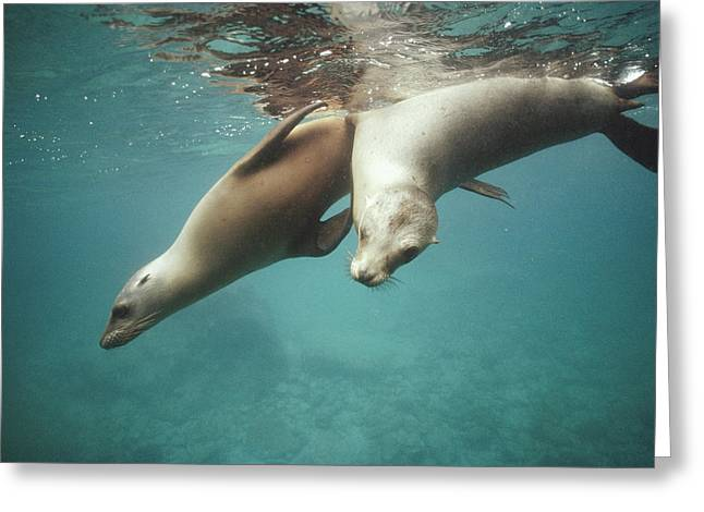 California Sea Lions Greeting Cards - California Sea Lions Playing Sea Greeting Card by Tui De Roy