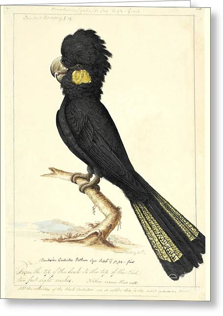 Zoology Greeting Cards - Calyptorhynchus Cockatoo, 18th Century Greeting Card by Natural History Museum, London