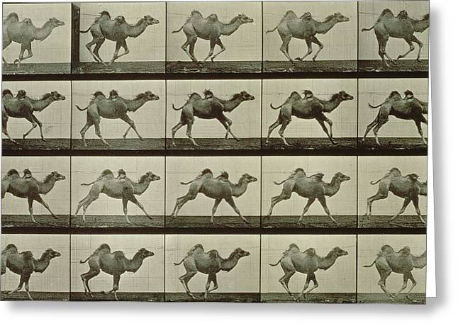 Trot Greeting Cards - Camel Greeting Card by Eadweard Muybridge