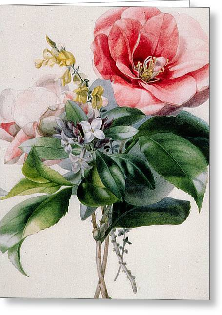 Roses In Bud Greeting Cards - Camellia and Broom Greeting Card by Marie-Anne