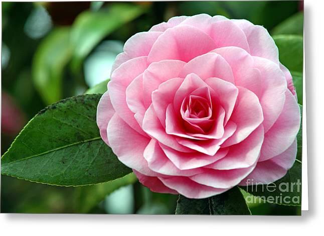 Camellia Japonica Greeting Cards - Camellia Flower Camellia Japonica Greeting Card by Dr. Keith Wheeler