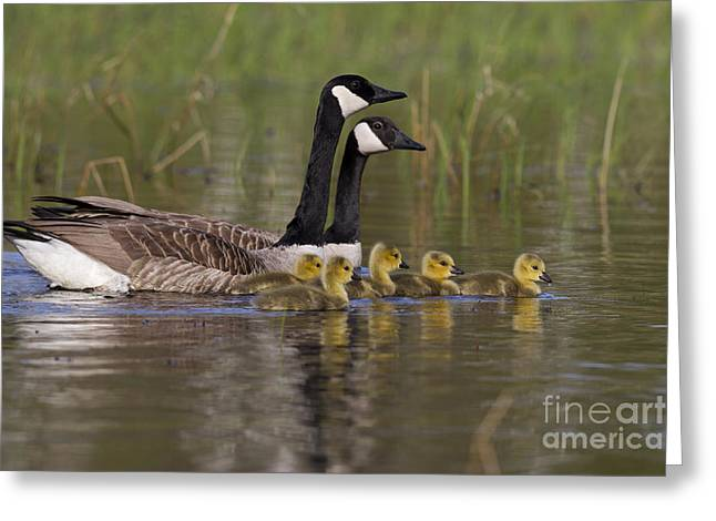 Mother Goose Greeting Cards - Canada Geese And Goslings Greeting Card by Linda Freshwaters Arndt