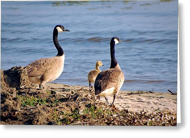 Branta Greeting Cards - Canada Geese Greeting Card by Rich Leighton