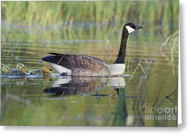 Mother Goose Greeting Cards - Canada Goose And Goslings Greeting Card by Linda Freshwaters Arndt