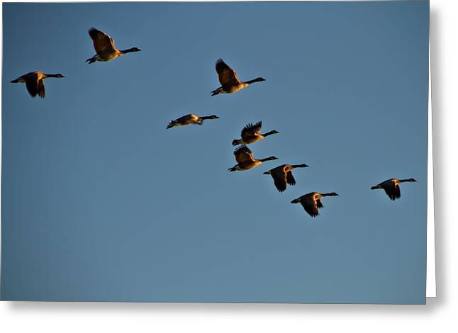 Moving Away Greeting Cards - Canadian Geese Greeting Card by Dan Sproul