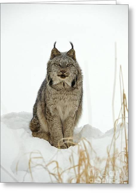 Lynx Greeting Cards - Canadian Lynx Greeting Card by John Shaw