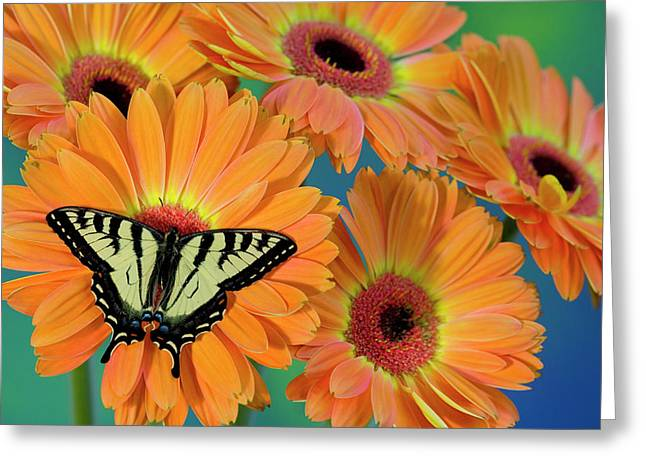 Canadian Tiger Swallowtail Butterfly Greeting Card by Darrell Gulin