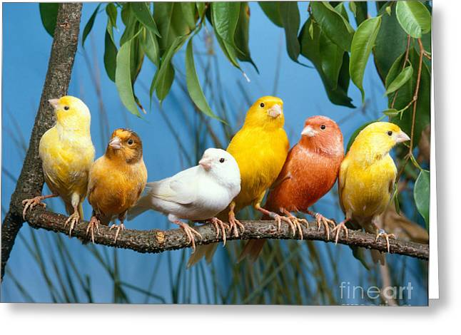 Canary Greeting Cards - Canaries Greeting Card by Hans Reinhard