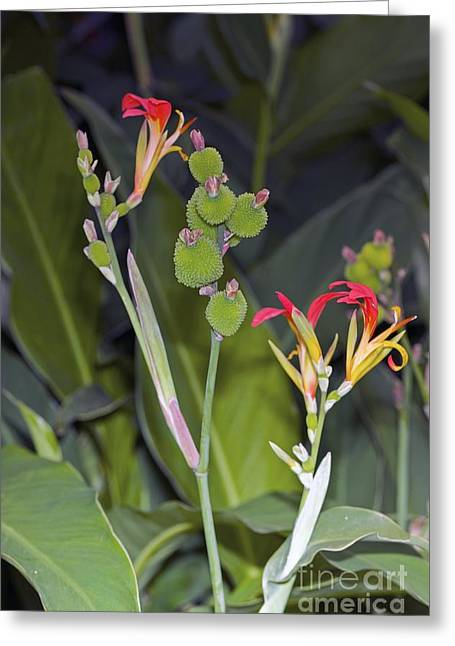 Canna Photographs Greeting Cards - Canna Brasiliensis Greeting Card by Dr. Keith Wheeler