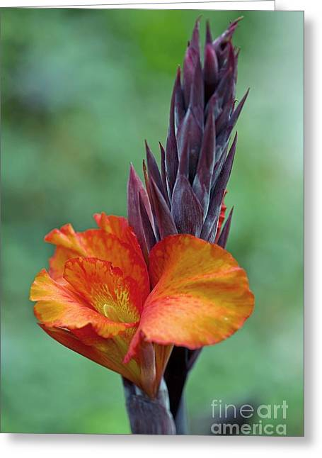 Canna Photographs Greeting Cards - Canna Sp Greeting Card by Dr. Keith Wheeler