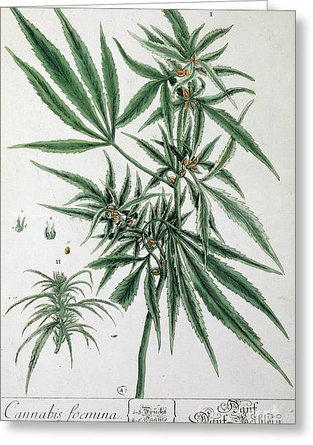 Smoker Greeting Cards - Cannabis  Greeting Card by Elizabeth Blackwell