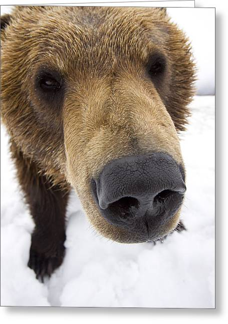 Snowy Day Greeting Cards - Captive Extreme Close-up Of Brown Bear Greeting Card by Doug Lindstrand