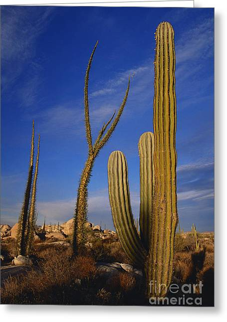 Caryophyllales Greeting Cards - Cardon Cactus Greeting Card by Art Wolfe