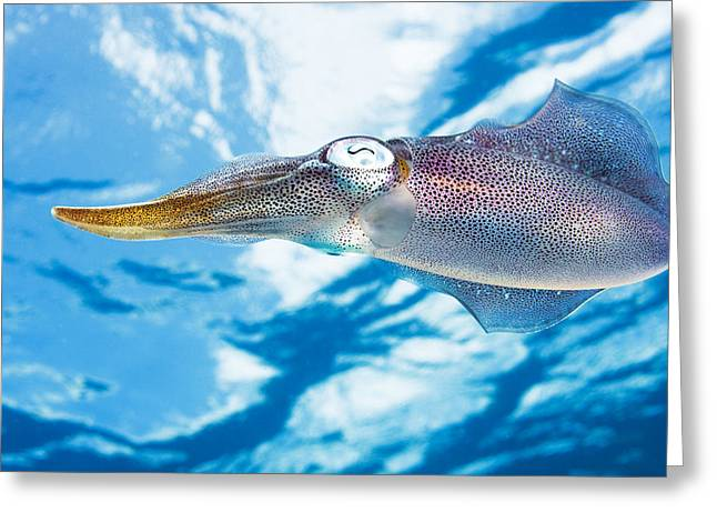 Ocean Art Photography Greeting Cards - Caribbean, Reef Squid Sepioteuthis Greeting Card by Dave Fleetham