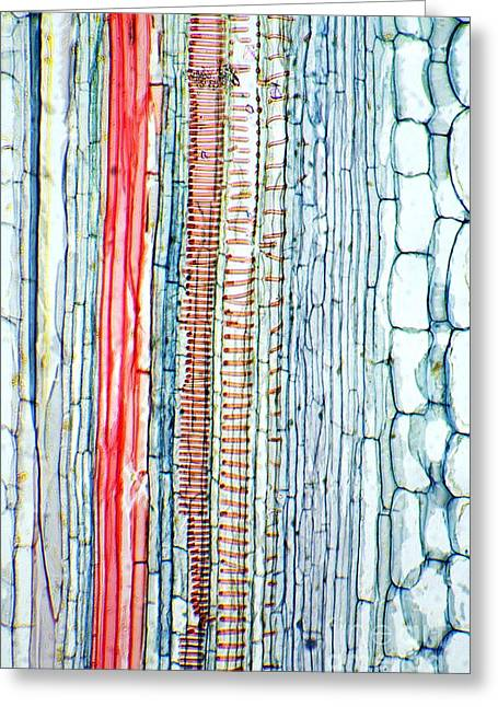 Phloem Greeting Cards - Castor Oil Stem, Light Micrograph Greeting Card by Dr. Keith Wheeler
