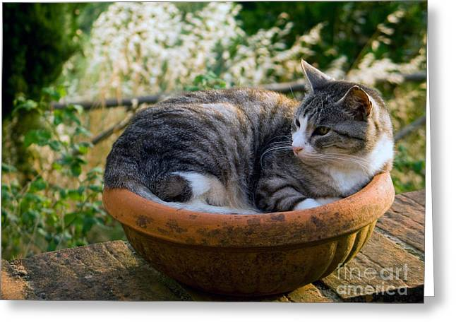 Domestic Pet Portraits.house Cat Greeting Cards - Cat In A Flowerpot Greeting Card by Tim Holt