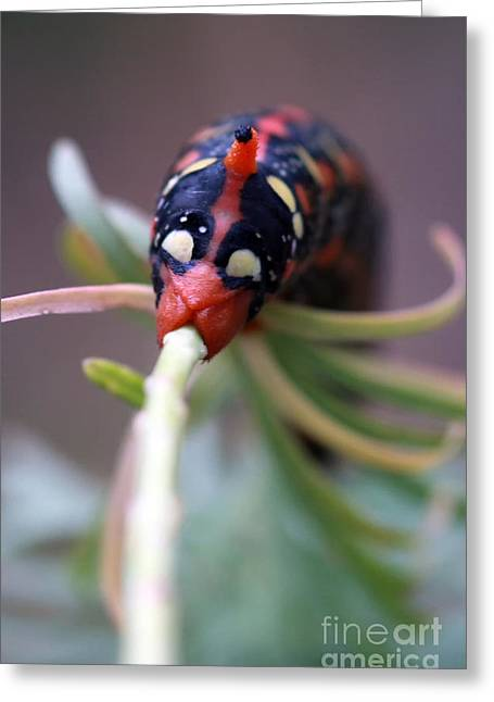 Lifecycle Greeting Cards - caterpillar Spurge Hawk-moth Greeting Card by Amos Dor