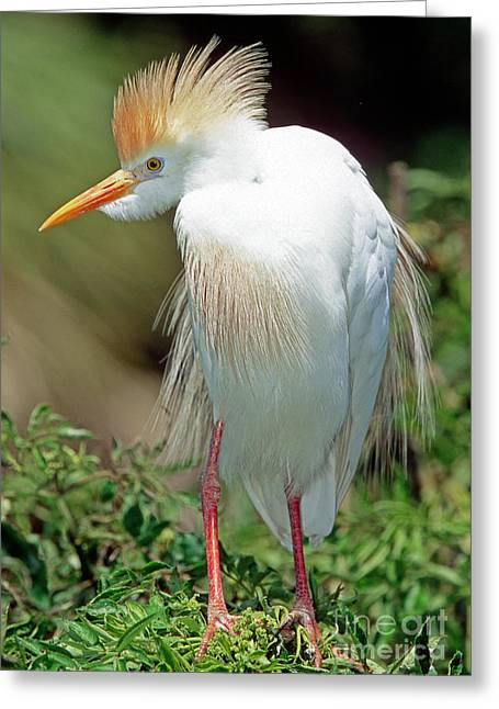 Bubulcus Ibis Greeting Cards - Cattle Egret Adult In Breeding Plumage Greeting Card by Millard H. Sharp