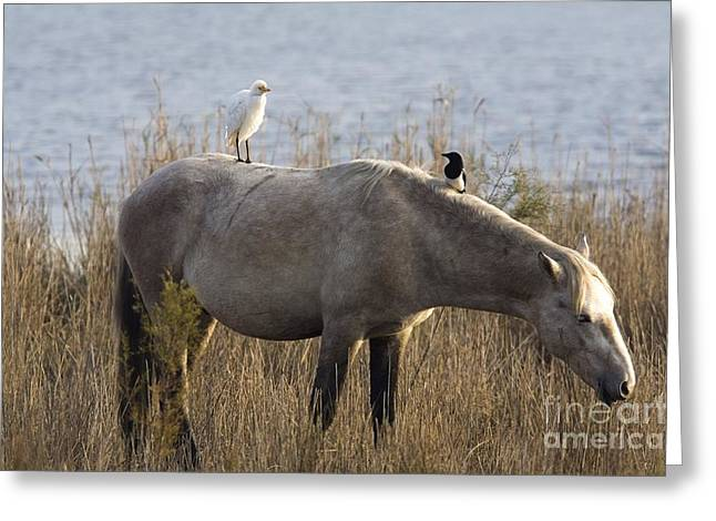 Pica Greeting Cards - Cattle Egret And Magpie On A Horse Greeting Card by Bob Gibbons
