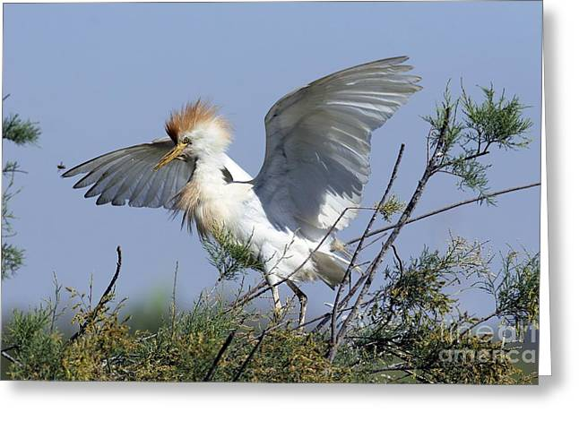 Bubulcus Ibis Greeting Cards - Cattle Egret In Breeding Plumage Greeting Card by PhotoStock-Israel