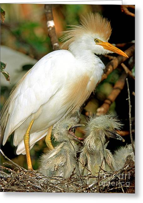 Feeds Chicks Greeting Cards - Cattle Egret Greeting Card by Millard H. Sharp