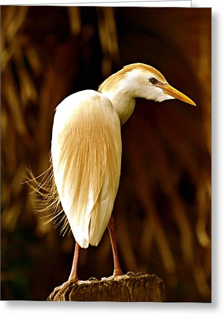 Egret Greeting Cards - Cattle Egret Greeting Card by Suzi Harr