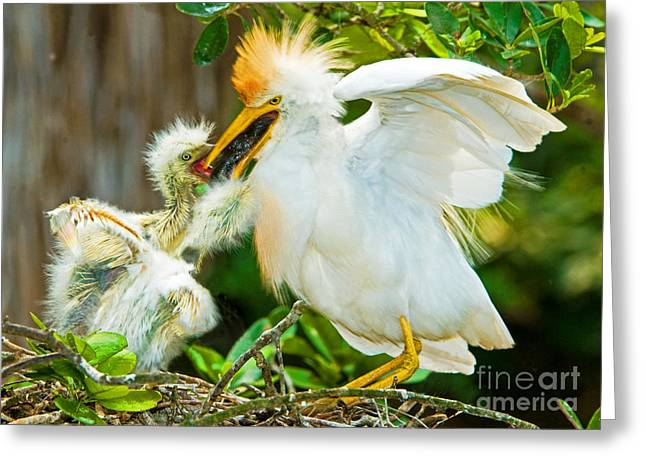 Bubulcus Ibis Greeting Cards - Cattle Egret With Young In Nest Greeting Card by Millard H. Sharp