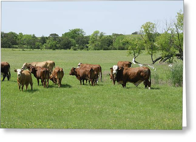 Fed Greeting Cards - Cattle Grazing Greeting Card by Charles Beeler