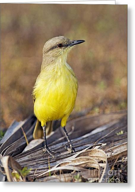 Tyrant Greeting Cards - Cattle Tyrant Flycatcher Greeting Card by Tony Camacho