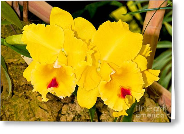 Cattleya Orchid Greeting Cards - Cattleya Orchid Greeting Card by Millard H. Sharp