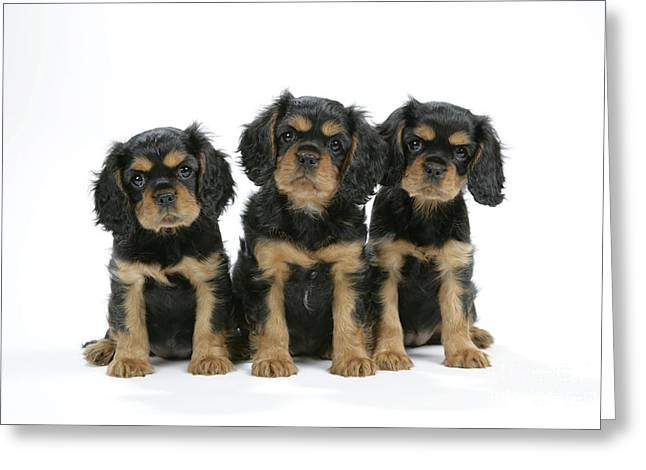 Toy Dog Greeting Cards - Cavalier King Charles Spaniel Pups Greeting Card by John Daniels