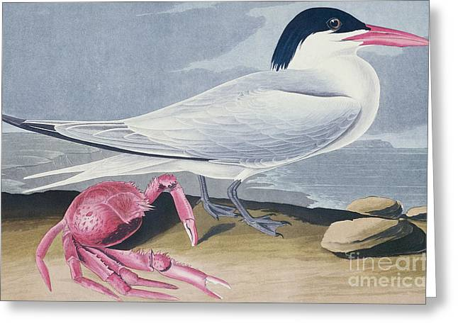 Tern Drawings Greeting Cards - Cayenne Tern Greeting Card by John James Audubon